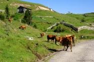 Goderdzi yolunda inekler